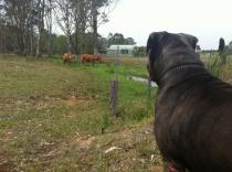 CattleHerding01